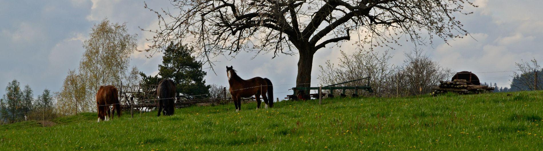 Koně v Hlavňově